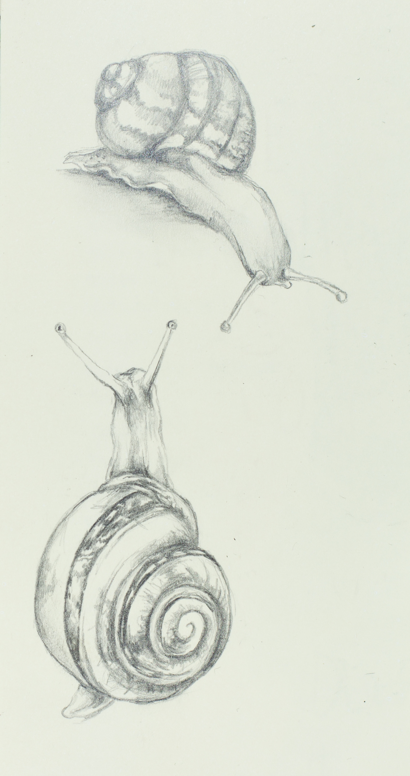 Easy animal sketches in pencil the for Simple snail drawing